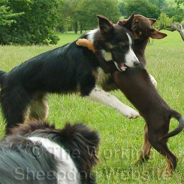 Border Collie and Kelpie puppies standing on their hind legs, play-fighting