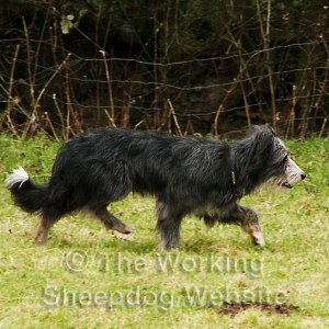 Bearded Collie at work