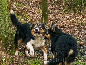 You might think these sheepdogs are fighting but in fact they're playing