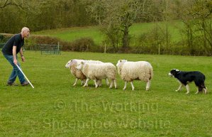 Jack's control of the sheep was good for a beginner