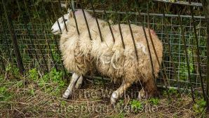 Welsh Mule sheep stuck between an iron fence and a hedge