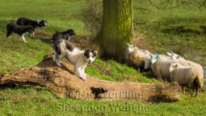 Border collie sheepdog puppy Jack playing on a log while other dogs are working sheep behind him