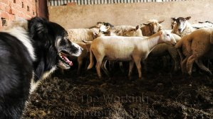 Sheepdog Carew keeps watch on the sheep in the buildings