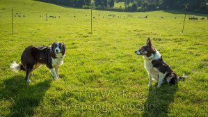 Sheepdogs Carew and Kay at Mathon Sheepdog Trials