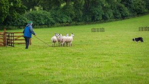 Typical scene at the pen in a sheepdog trial with the dog and handler in control of calm sheep.
