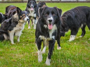 Border Collie sheepdogs in a group
