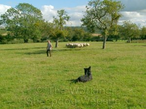 train a training a herding dog to work stock