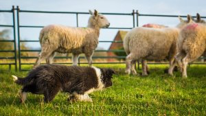 puppy herding sheep at a very young age