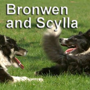 Compare the training of two stock herding dogs