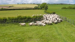 Working sheepdog Carew brings the sheep out of a field