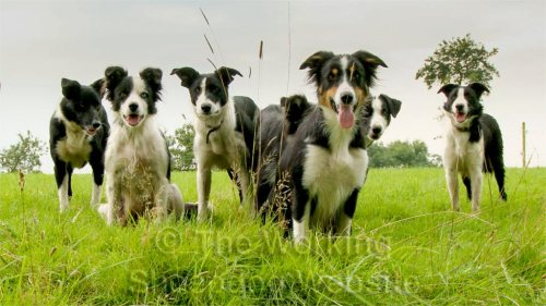 Seven border collie sheepdogs ready for action!