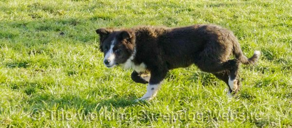 Rough coated black and white border collie pup for sale