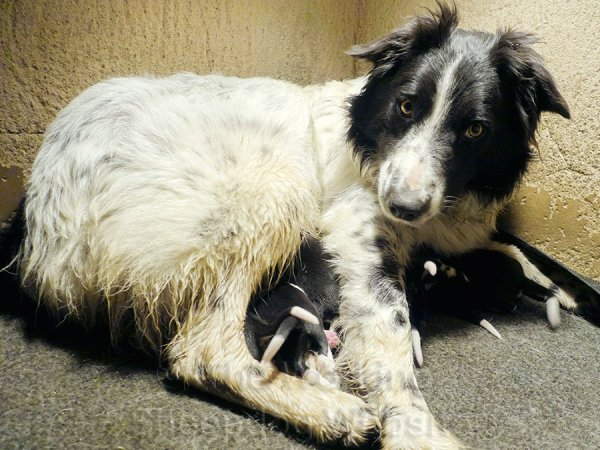 Black and white border collie with litter of black and white puppies