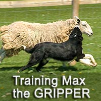 Max the herding dog attacking a sheep