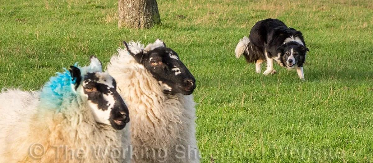 Herding sheepdog Carew controlling her sheep