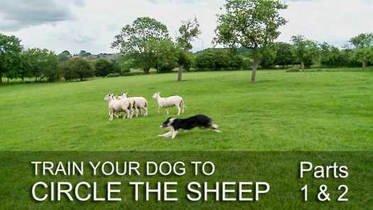 Thumbnail image for the sheep and cattle dog training tutorial: Inside Flanks, Circle The Sheep on Command parts 1 and 2