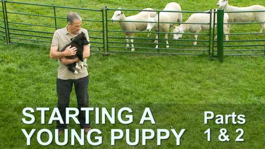 How to start training a young puppy to work sheep and other livestock