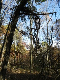 tropical: la liane virginienne