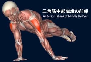 プランシェ 必要な筋肉 三角筋