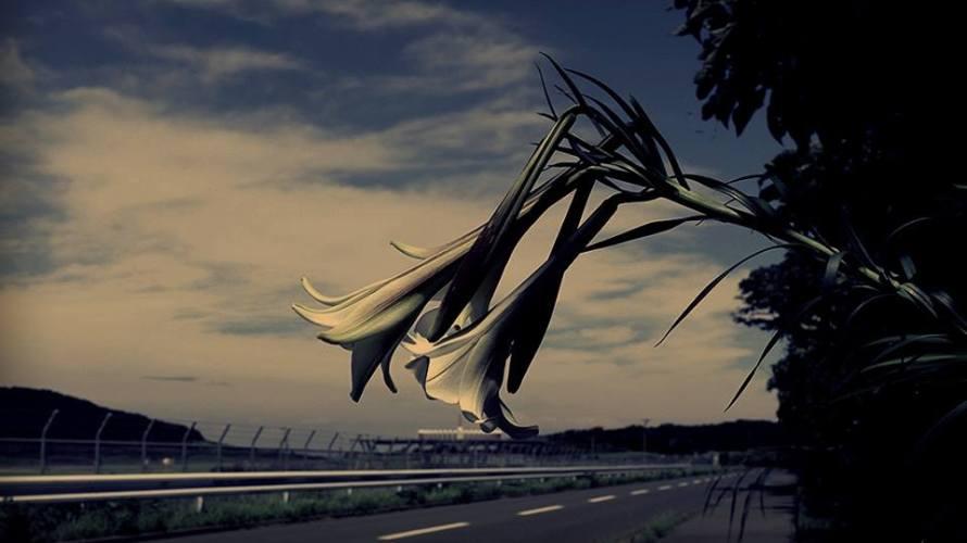 伊豆大島のユリ