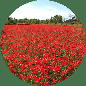 Poppy Season Icon