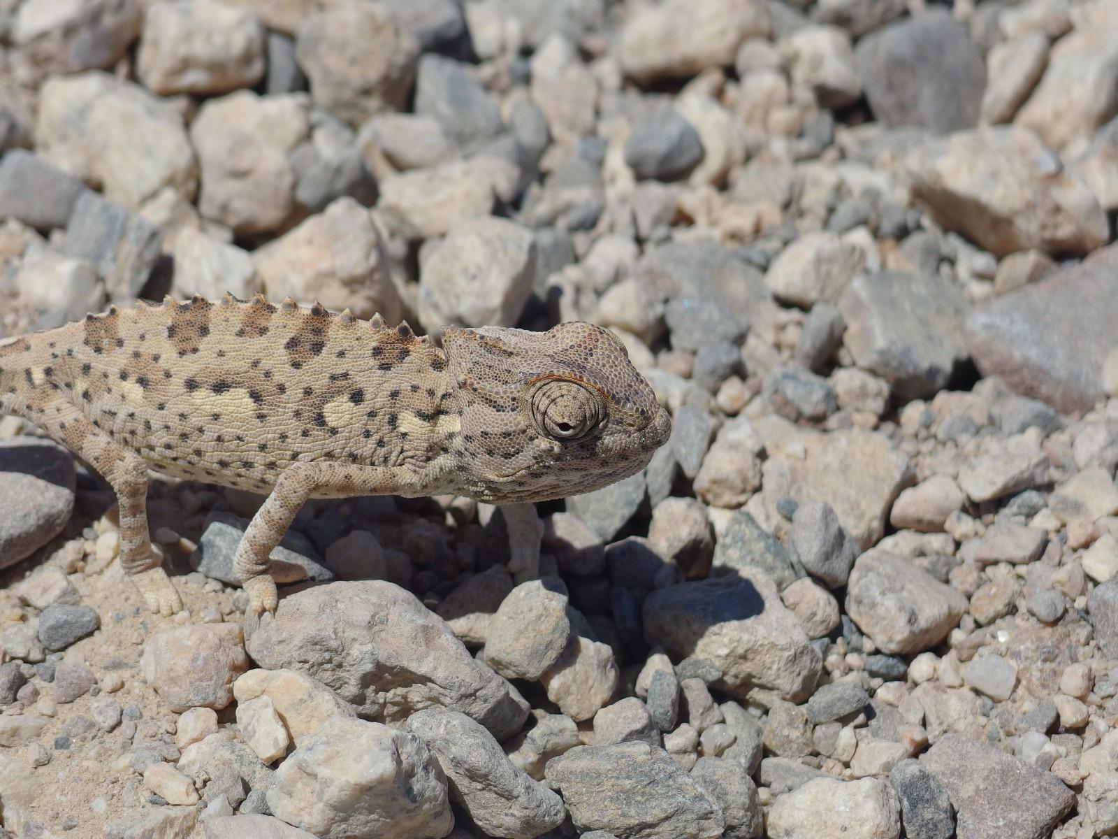 Chamäleon im Namib-Naukluft NP