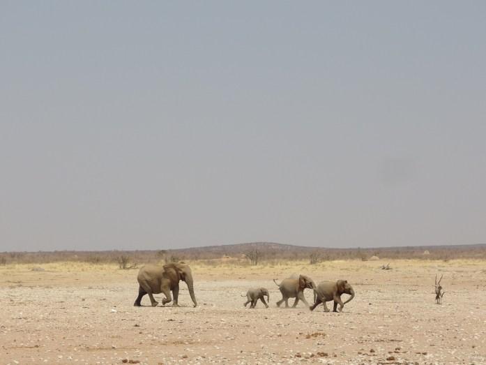 Elefantenfamilie auf dem Weg zum Wasserloch im Etosha NP