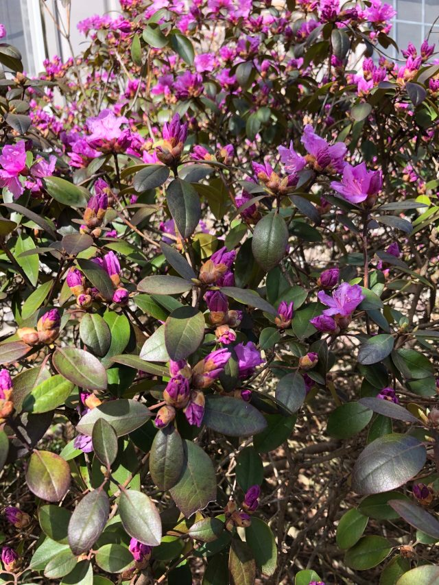 Life in the Time of Coronavirus:  A PJM rhododendron begins to bloom