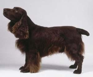 Филд-спаниель фото собаки