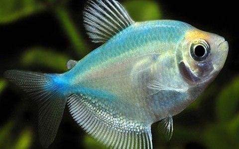 тернеция рыбка фото