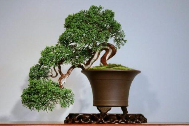 Искусство выращивания бонсай в домашних условиях