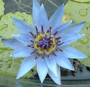 Planting Water lilies