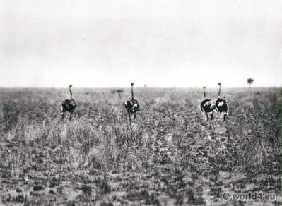 African animals. Fleeing ostriches, Tonga, White Nile.