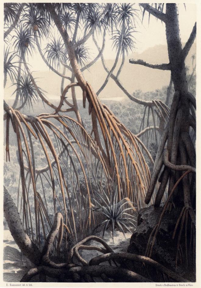 Pandanus tectorius, Sri Lanka,