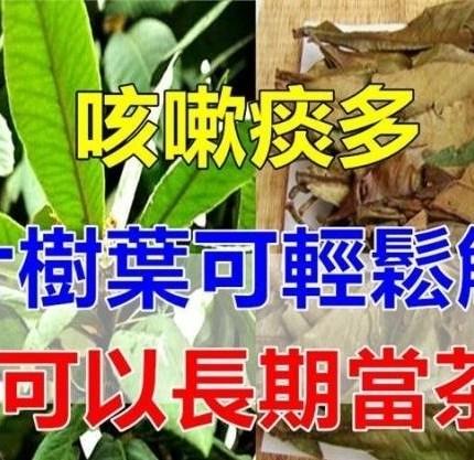 咳嗽痰多,五片樹葉可輕鬆解決,還可以長期當茶喝!