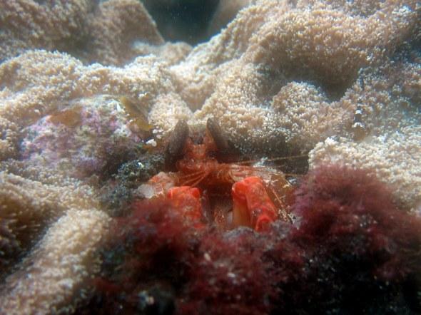 Hermit crab Tulamben Bali Indonesia