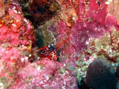 Peacock Manta shrimp Komodo Indonesia