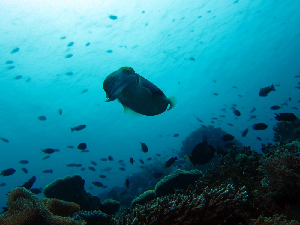 cuttle fish Komodo Indonesia