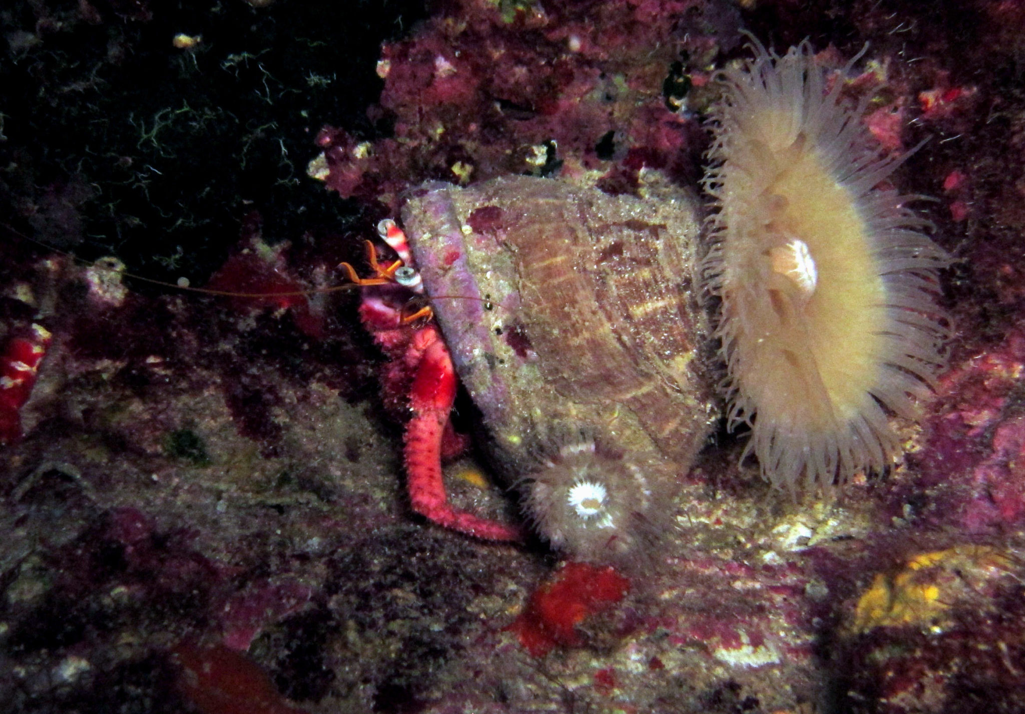 Kas diving - hermit crab
