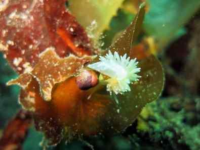 diving ushuaia beagle canal nudibranche