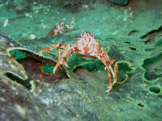 diving ushuaia beagle canal squat lobster