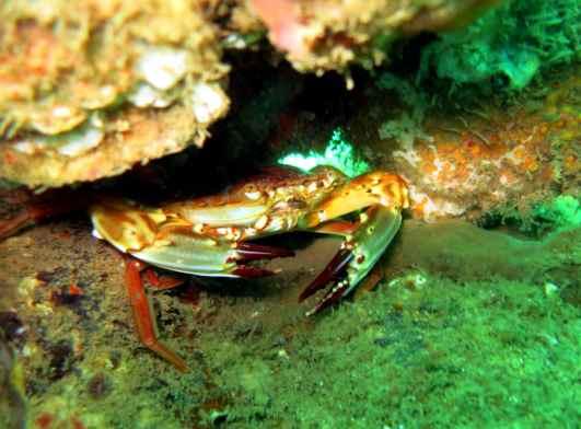 crab diving goa grande island