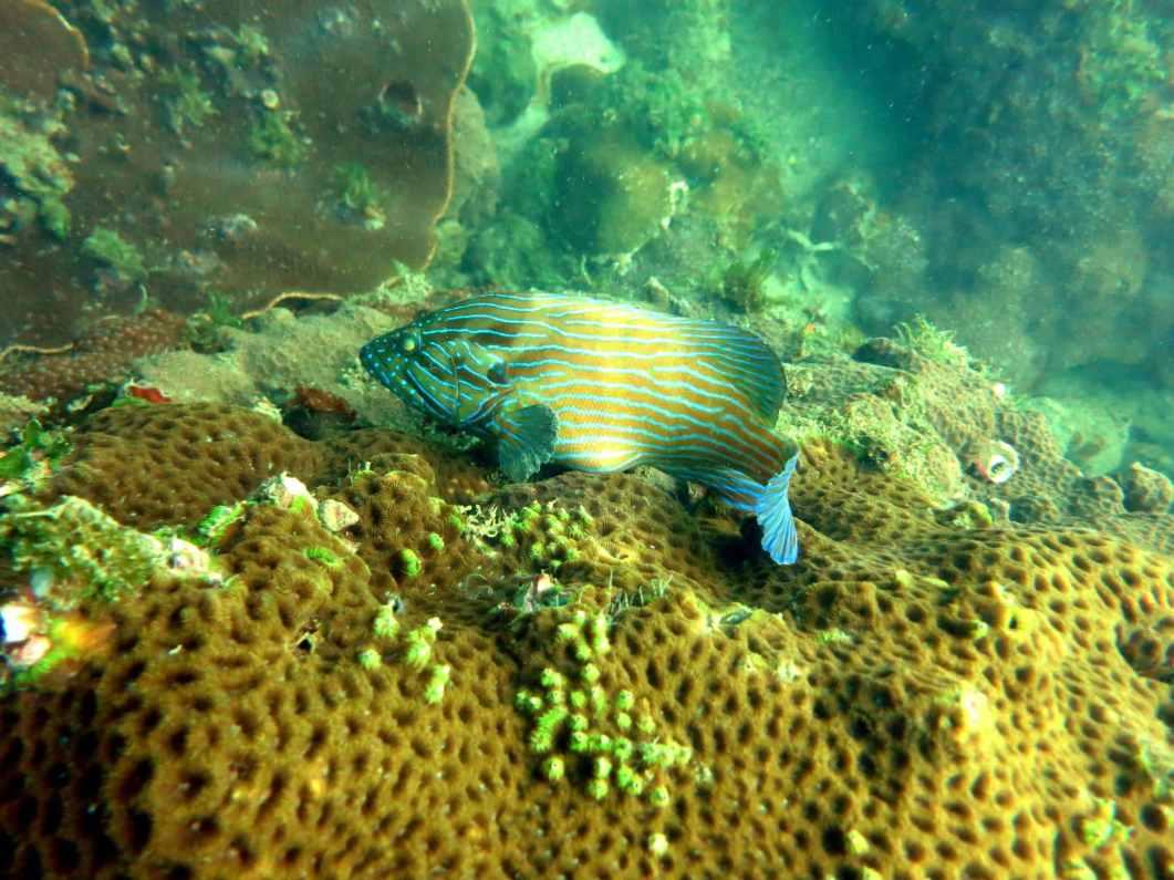 a diving scublue lined grouper goa grande island