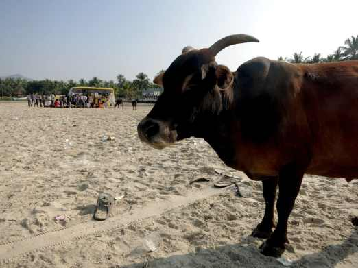 cow on murudeshwar beach