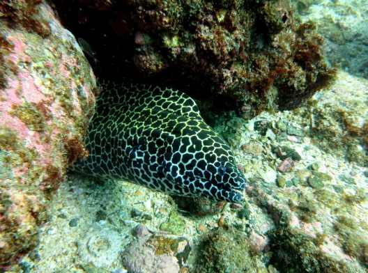 honeycomb or laced moray eel diving netrani india