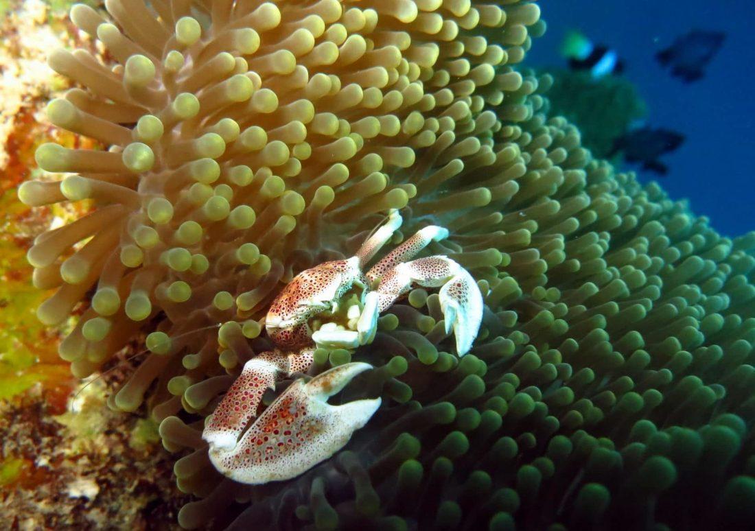 Porcelain crab - Diving Visayas Philippines