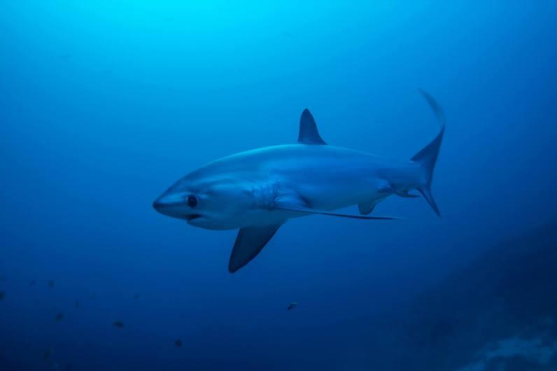 thresher shark Monad Shoal Malapascua Philippines
