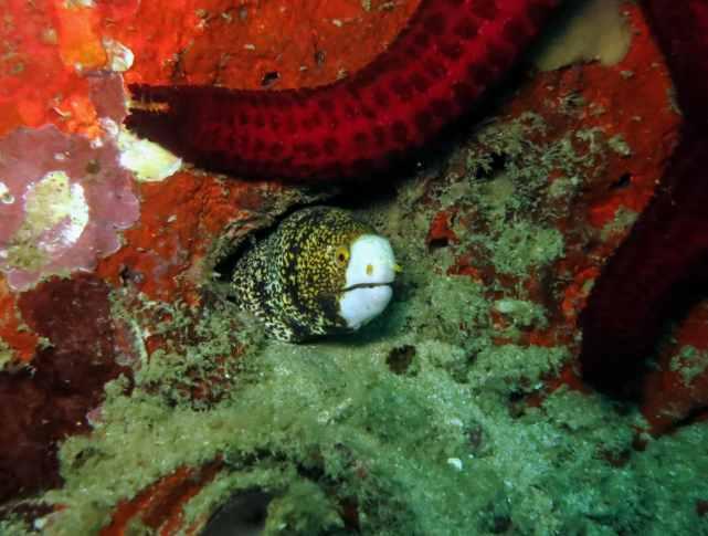 Moray eel Scuba diving Malapascua Philippines