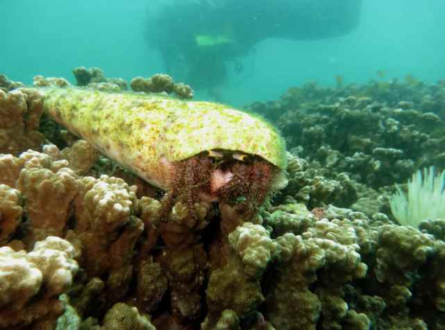 Hermit crab Scuba diving Malapascua Philippines