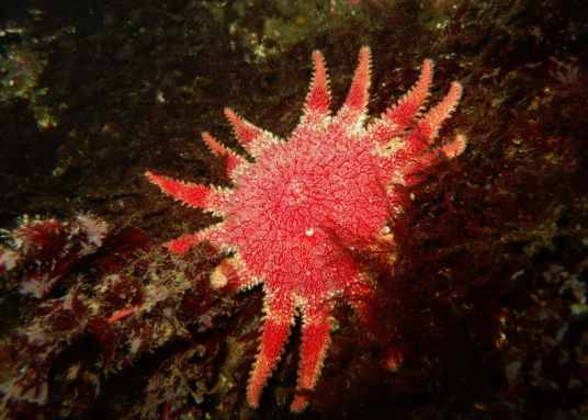 Common sun star Oban Firth of Lorne scuba diving Scotland